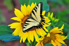 Butterfly & Sunflower | Flickr - Photo Sharing!