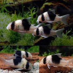 """Corydoras sp. CW51. Synonym: Corydoras sp. """"New Panda"""".                                                                                                                                                                                 More"""