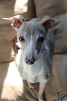 Italian Greyhound 》 Sweet Pea ♡ //photo ©