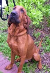 JASPER is an adoptable Bloodhound Dog in Houston, TX. Jasper is a handsome deep red bloodhound male--he is very loving and a great dog---he is fostered with other bloodhounds and does well with them. ...