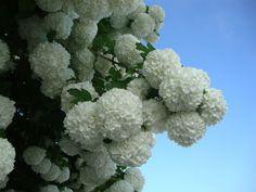 Chinese Snowball Bush (Viburnum macrocephalum 'Sterile') uploaded by Paul2032