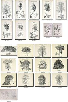 Collection of 359 black-and-white vintage TREES Tupelo Tree, Laurus Nobilis, Tree Illustration, Illustrations, Syringa, Mulberry Tree, Printable Pictures, Antique Maps, Illustration