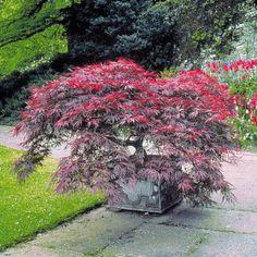 die besten 25 japanischer bonsai ahornbaum ideen auf. Black Bedroom Furniture Sets. Home Design Ideas
