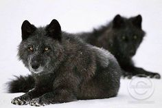 Two black wolves laying down <3