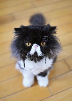 I was thirsty. Black & white Persian.... #Relax more with healing sounds: