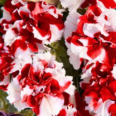 Bulk Petunia Flower Double Pirouette Mixed F1-1000 Pelleted Seeds