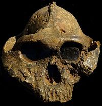 """Paranthropus-boisei also know as """"Nutcracker Man"""" because he is the first humanoid species to use a rock as a tool. His skull was found by Mary Leakey the wife of Louis Leakey in 1959 in Tanzania. The skull dates back to 1.4 million years."""
