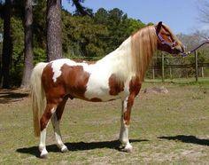 De oorsprong van de American Shetland, of American Shetland Pony, is te vinden op de Shetlandeilanden, een eilandengroep ten noorden van Schotland. Tegen h