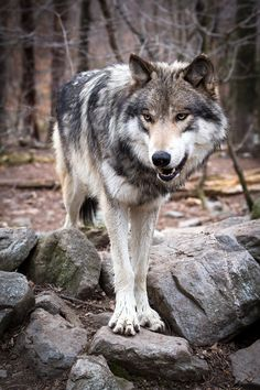 Lakota Wolf Preserve - Marc Hamburger Photography