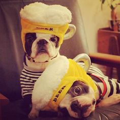 Nico & Milk: the two cutest beer-hat wearing Japanese Boston Terriers... EVER!!! @nicograph