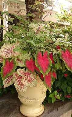Use Tropical Shade Plants in Your Garden: Sensational snowbush and cool caladiums are perfect together in a container garden. From @costafarms #Containerplants