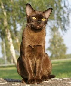European Chocolate Burmese Cat....