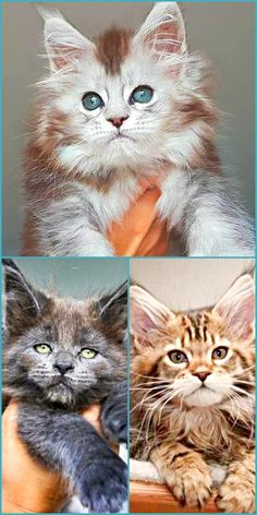 Looking to adopt Free Maine Coon Kittens? Follow our tips on how find free Maine Coon Kittens safely and invite a loving, cute kitten into your home!