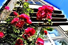 Roses in Solheimsgata, September 13, 2014.