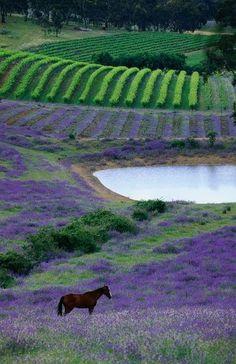Horse paddock near vineyards, Barossa Valley, Mintaro, South Australia. Photo: Lonely Planet Images, John Hay