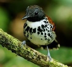 Beautiful ♥️ Spotted antbird (Hylophylax naevioides)