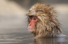 Young Japanese Macaque AKA Snow Monkey at Jigokudani hot spring in the mountains near Nagano on Honshu, Japan. ©Harry Eggens Wishing all of you a wonderful weekend, Harry Primates, Mammals, Japanese Macaque, Animals Images, Animal Photography, Animal Kingdom, Cool Pictures, Pets, Infinity