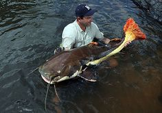 small-redtail-catfish-100-pounds-rewa-river-guyana-nevada-hat-IMG_9969.jpg (800×561)