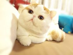 Snoopy the Exotic Shorthair: I think this may be the cutest cat I have seen. EVER. ♥