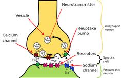 Depolarization by neurotransmitters