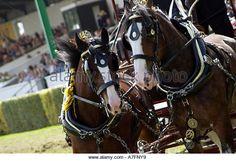 Shire horses (3) - Stock Image