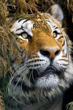 5154731b3f9de 30 images délicieuses de Tigres