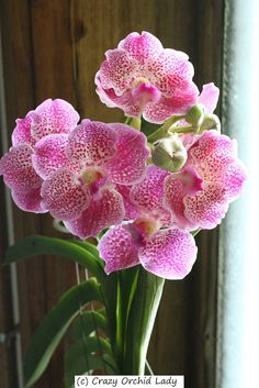 Crazy Lady Orchid Cattleya | December 23, 2011 by Ursula