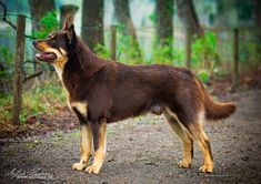 Maggie, an Australian kelpie likely to be the world's oldest dog, recently died at her home in Victoria, Australia.