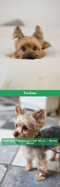 Want to know more about Yorkshire Terriers Click the link to read more #yorkshireterrier