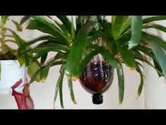 YouTube How To Grow Lemon, Staghorn Fern, Orchid Care, Begonia, Compost, Bonsai, Frappuccino Recipe, Youtube, Gardening