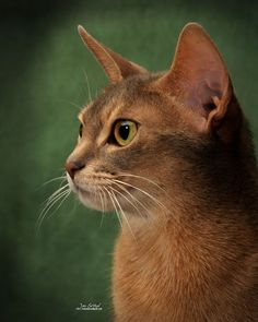 Pictures of Abyssinian #Cat Breed