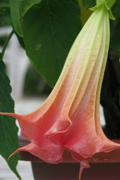 Live Plants, Exotic Plants, Indoor Plants, Home Decor by AoJikinKalib Pink Flowering Trees, Full Shade Plants, Angel Trumpet, Paradise Garden, Exotic Plants, Live Plants, Tropical Garden, Fresh Vegetables, Garden Beds