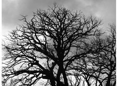 Bur oak tree black and white