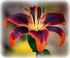 Orange and Purple Tiger Lily. Photography Art Orange and Purple Tiger Lily. Exotic Flowers, Orange Flowers, Amazing Flowers, Beautiful Flowers, Tiger Lily Flowers, Lilly Flower, Tiger Lilies, Lilies Flowers, Tiger Lily Bouquet