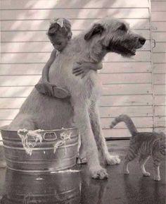 Irish Wolfhound - bath time