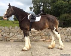 Clydesdale shire horses