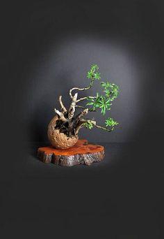562 Best Bonsai Images In 2019 Bonsai Bonsai Trees Bonsai Plants