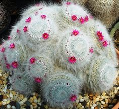Mammillaria hahniana. Old Lady pincushion cactus. Northeastern Mexico native. Ball/clumping shape. Varieties: (mendeliana) -less hair. (woodsii) - darker central spines.
