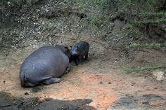 Mom and new born baby hippo.