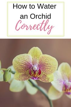 House plants The Correct Way to Water an Orchid By Leigh AnnJanuary 2019 Save *This post may contain affiliate links. Purchases made from these links help with any costs associated with running th Water Plants Indoor, Indoor Orchids, Orchids Garden, Garden Plants, Flowers Garden, Herb Garden, Potted Plants, Orchid Plant Care, Orchid Plants