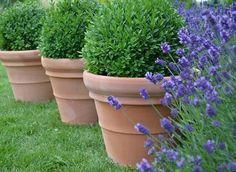 buxus balls in terracotta pots