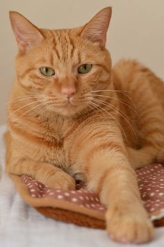 red cat cutie - Tabby Cat - Ideas of Tabby Cat - red cat cutie The post red cat cutie appeared first on Cat Gig. Orange Tabby Cats, Red Cat, Yellow Cat, Pretty Cats, Beautiful Cats, Beautiful Soul, Chat Maine Coon, Gatos Cats, Photo Chat