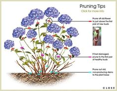 Best information on Hydrangea care: Hydrangea Pruning Tips no site to go to but this illustrations gives enough to start
