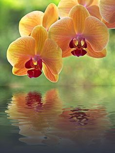 Beautiful, fresh picture of the sun shining through an exotic delicate yellow and peach color orchid flowers with crimson centers, reflected in the water. Artwork by Gill Billington.