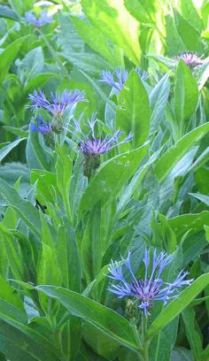 Centaurea montana or bachelor buttons - a rampant spreader as it self-sows.