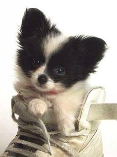 Papillon Puppy in a Shoe Papillons are part Chihuahua and are just as cute! Puppies And Kitties, Cute Puppies, Pet Dogs, Dog Cat, Chihuahua Puppies, Pomeranian Puppy, Doggies, Animals And Pets, Baby Animals