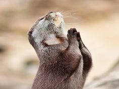 sea otter praying