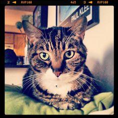 """#MonorailKitteh is owt uf surviss fer u."" #SimonAndStellaCats #Stella #Simon #cats #cat #kitty #kitties #kitteh #kittehs #gato #gatos #monkeybuns #furpig #neko #furpig #monorailcat  (at La Kitteh Inn Pacifica Be..."
