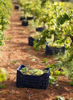 Marco De Bartoli, Marsala wine, and Aristotle - Italian Ways Bon Weekend, Wine Vineyards, Marsala Wine, Perfect Glass, The Gr, In Vino Veritas, Italian Wine, Wine List, Fine Wine