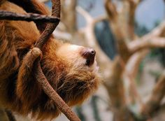 two-toed sloth at Brookfield Zoo in Chicago